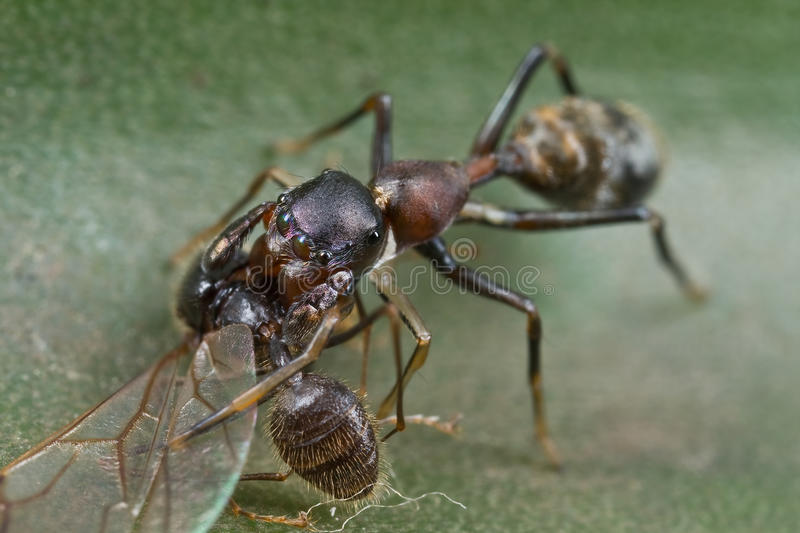 Ant mimic spider with prey stock photo