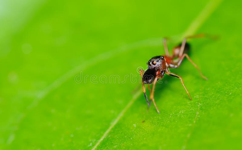 Ant-Mimic Spider with selective focus on her eyes stock image