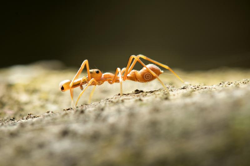 Ant mimic Spider in Thailand and Southeast Asia. royalty free stock photo