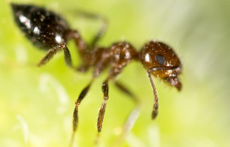 Ant in nature. super macro stock photography