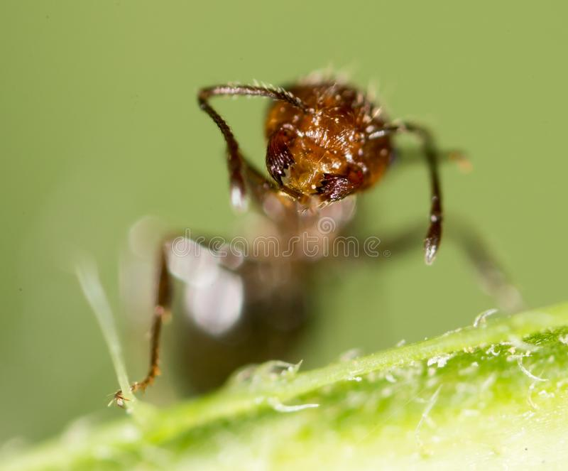 Ant in nature. super macro royalty free stock images