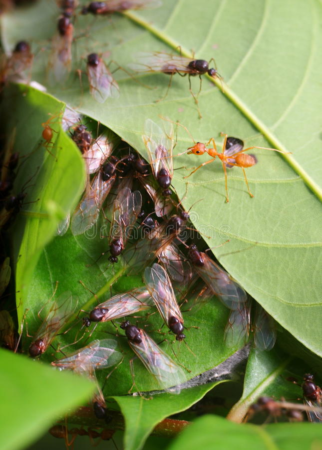 Ant nest. Many queen red orange ants transformed from red to black color with transparent wings ready to fly running around a small red ant nest built from green stock image