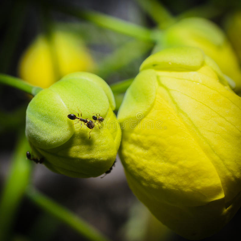 Free Ant On Flower Royalty Free Stock Photos - 71890648
