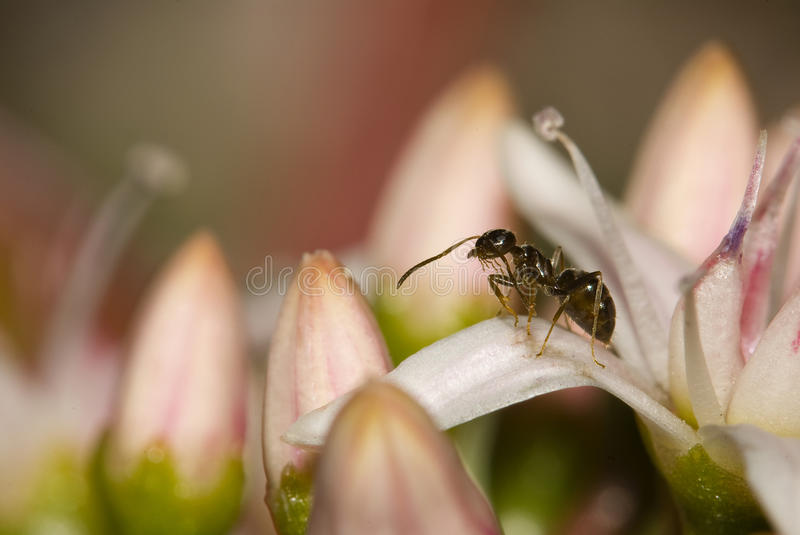 Download Ant on a petal stock image. Image of ecology, wildlife - 14378283