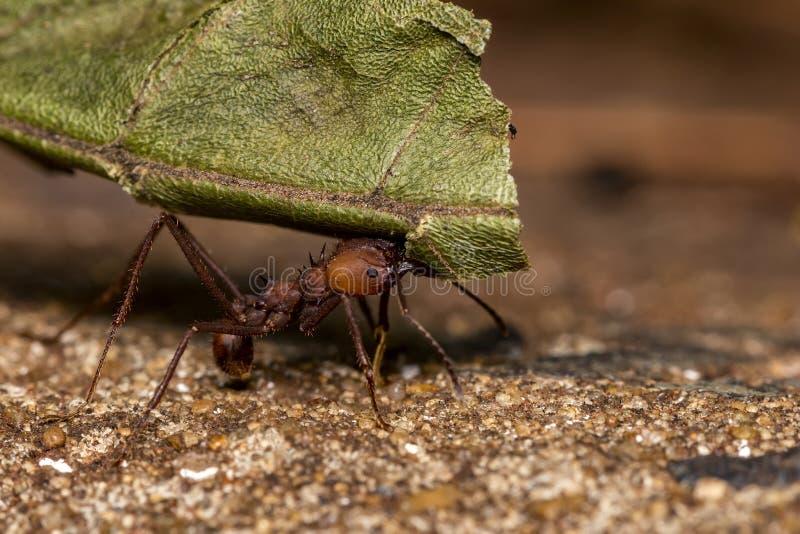Ant Pheidole spp carrying leaf close up. Photo of ant Pheidole spp carrying leaf close up royalty free stock image