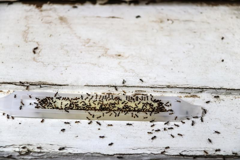 Ant poison trap filled with ants - dead and alive - sitting on old wood - shallow focus stock photos