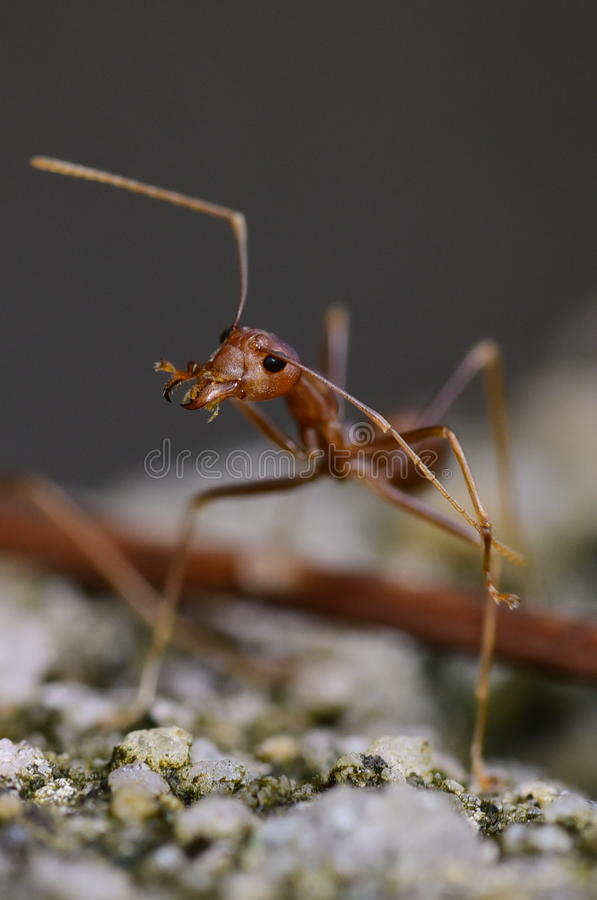 Ant Portrait royalty free stock photography