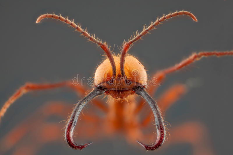 Ant portrait. With long jaw in grey background royalty free stock images