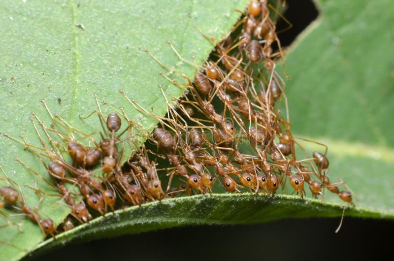 Ant, Red ant. Red ant, Ant bridge unity team stock photos
