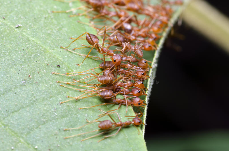 Ant, Red ant. Red ant, Ant bridge unity team stock image