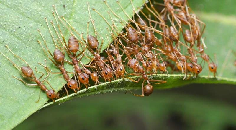 Ant, Red ant. Red ant, Ant bridge unity team royalty free stock images
