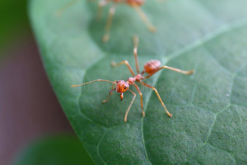 Ant Red en cierre de la naturaleza del bosque del verde de la hoja para arriba foto de archivo libre de regalías