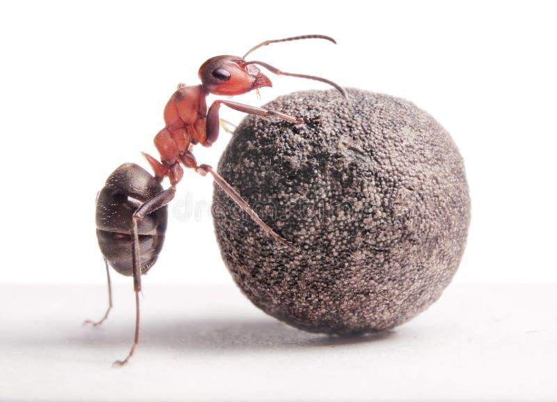 Ant rolls heavy stone royalty free stock photography