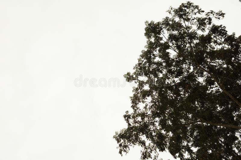 Very tall tree with lots of branches. Ant`s eye view of the large tree in garden royalty free stock photos