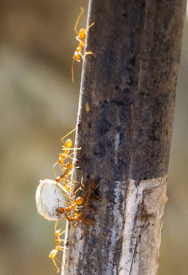 Ant Teamwork stockfotografie