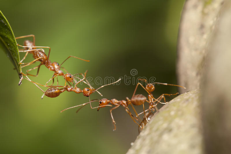 Ant teamwork. Ant bridge teamwork as unity concept stock images
