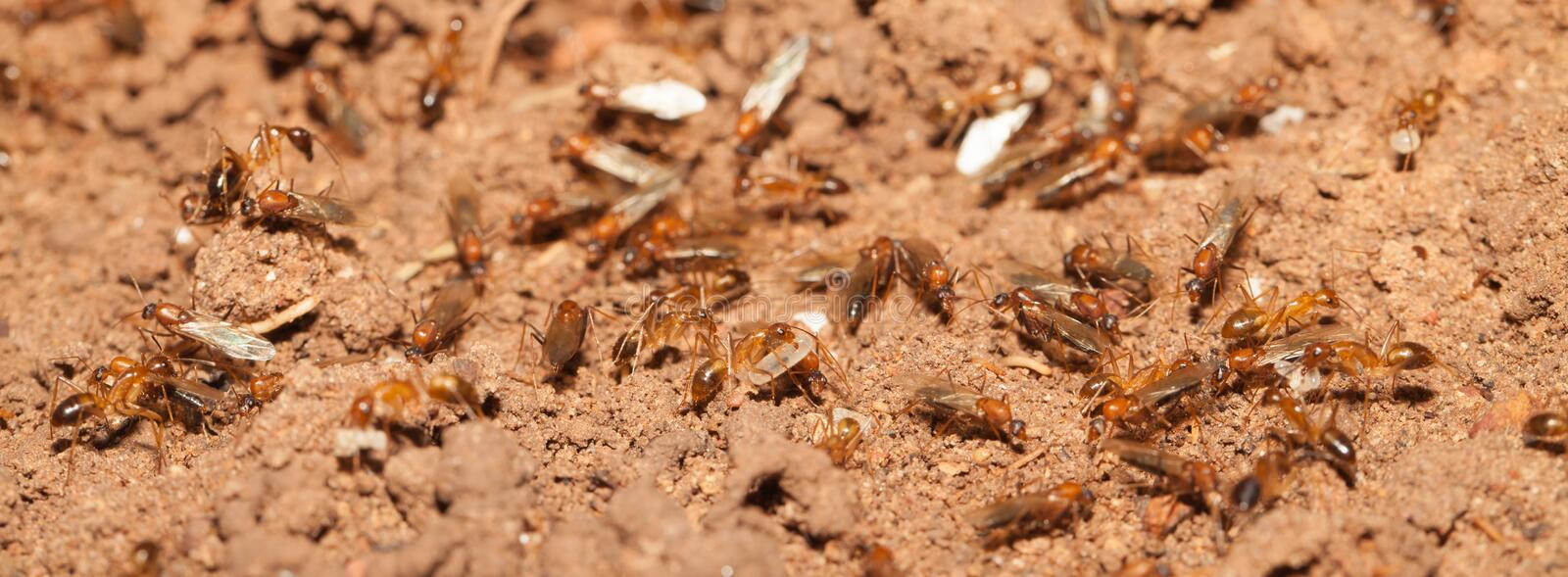 Ant teamwork royalty free stock photography