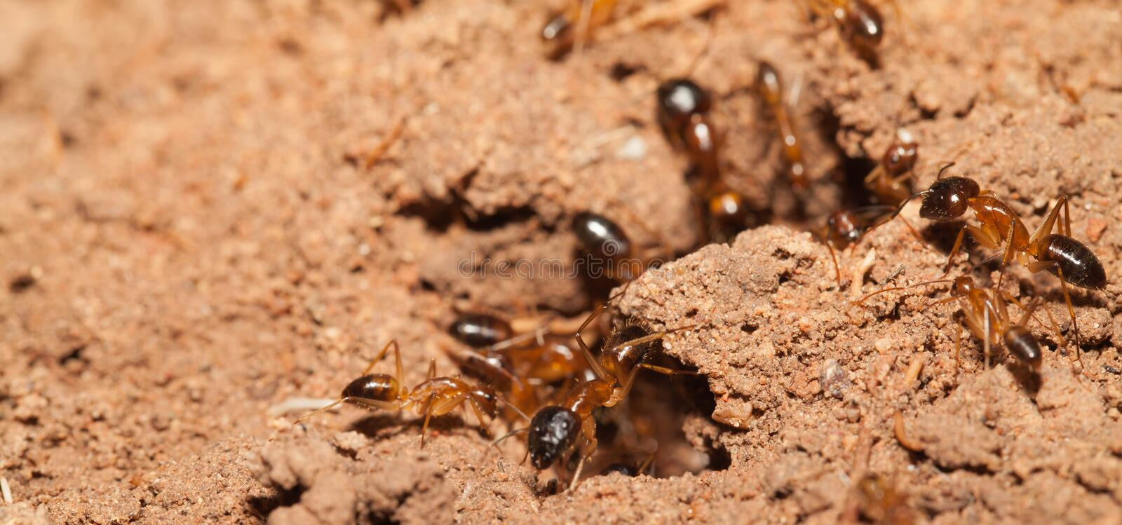 Ant teamwork. In the nature royalty free stock photo