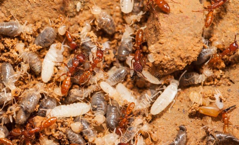 Ant teamwork royalty free stock photo