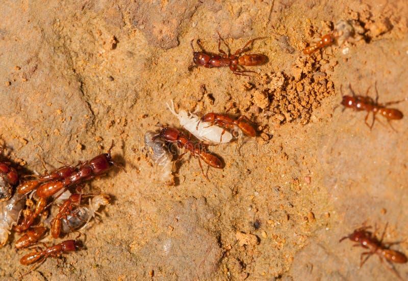 Ant teamwork royalty free stock image