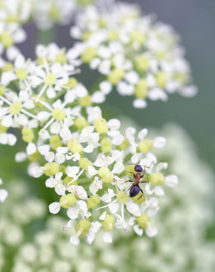 Ant on top angelica flower. In a meadow royalty free stock photography
