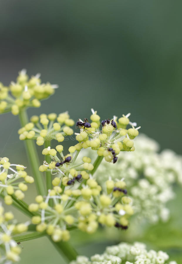 Ant on top angelica flower. In a meadow stock photography