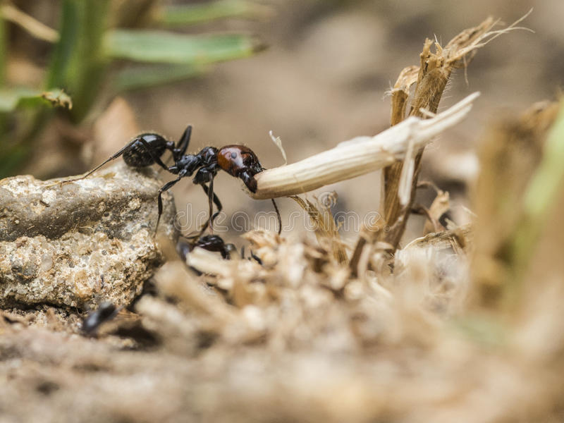 Ant transporting a straw royalty free stock photography