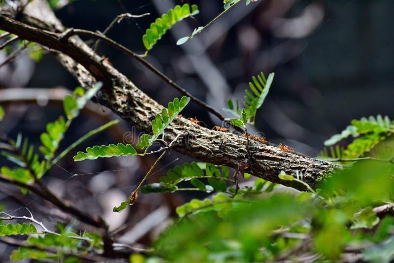 Ant On uma árvore de tamarindo fotografia de stock royalty free