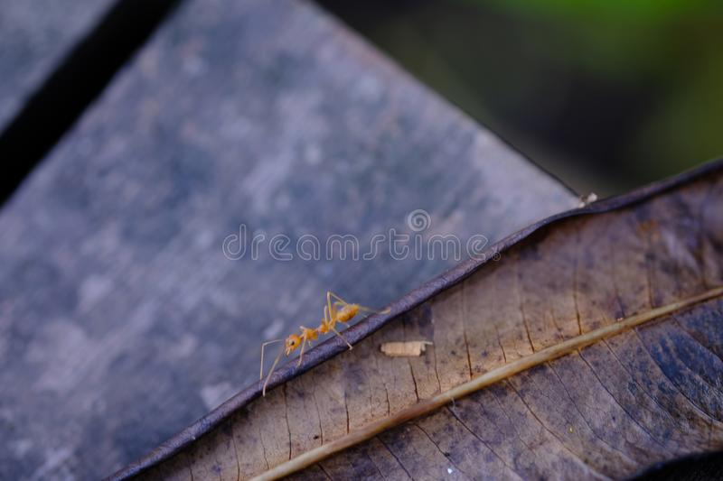 An ant walks. On dried leaves stock image
