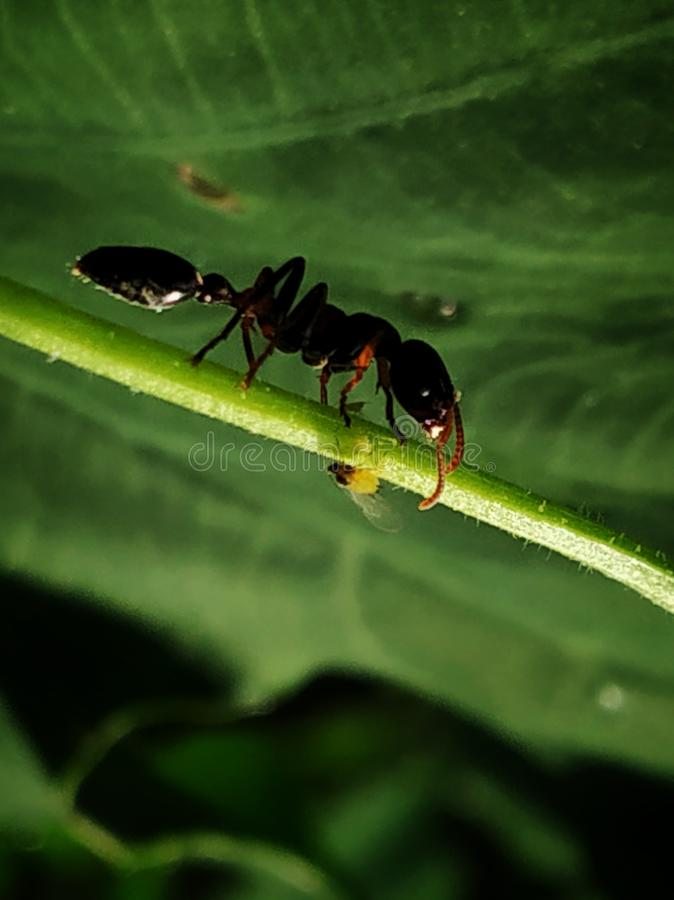 Ant Walks on string royalty free stock images