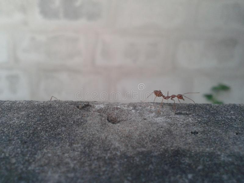 Ant on wall royalty free stock photos