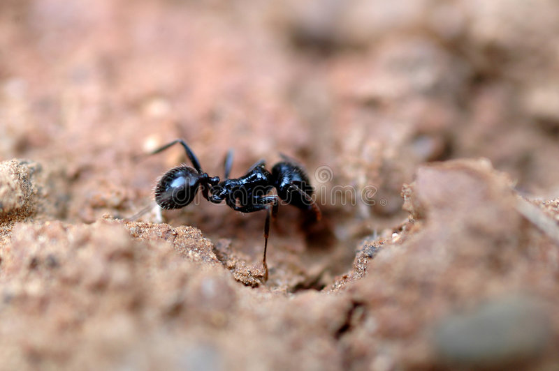 Ant at work. A ant is working hard with sand royalty free stock photos