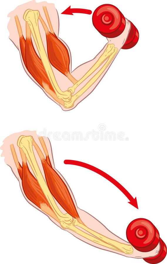 Antagonistic musle. Illustration of human arm muscles during contraction and relaxing stock illustration