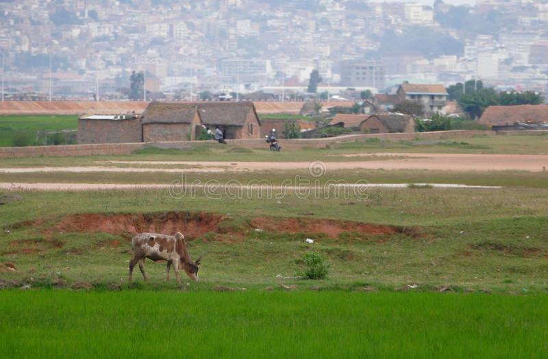 ANTANANARIVO, MADAGASCAR. NOVEMBER 24TH 2016: Rice fields in Mad. Agascar stock photos