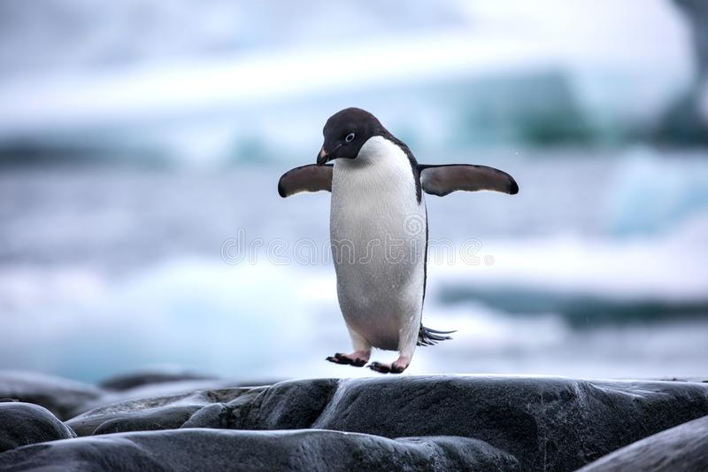 An antarctic Adelie penguin jumping between the rocks stock images