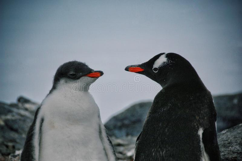 Antarctic animal royalty free stock images