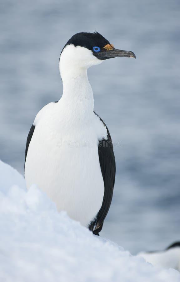 Download Antarctic Blue-eyed Shags. Stock Photography - Image: 23550082