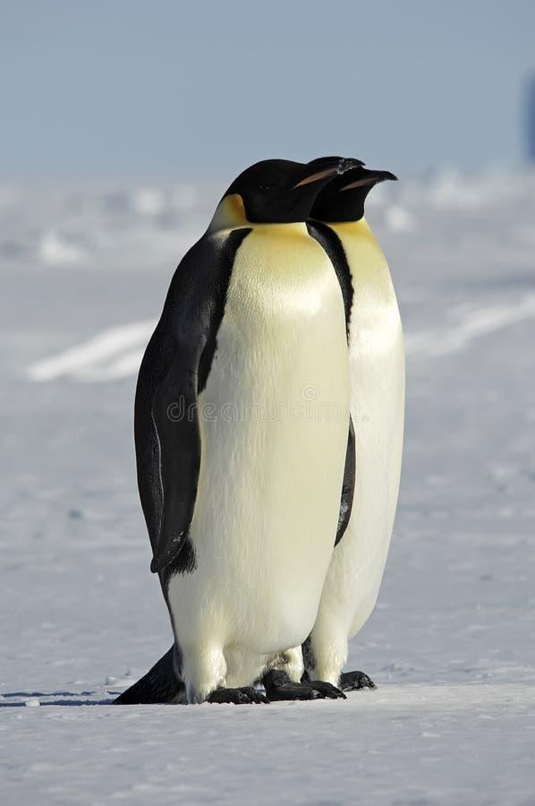 Antarctic couple stock photos