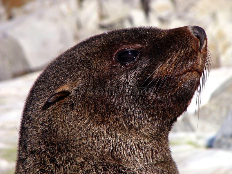 Download Antarctic fur seal stock image. Image of galindez, glacier - 15730533