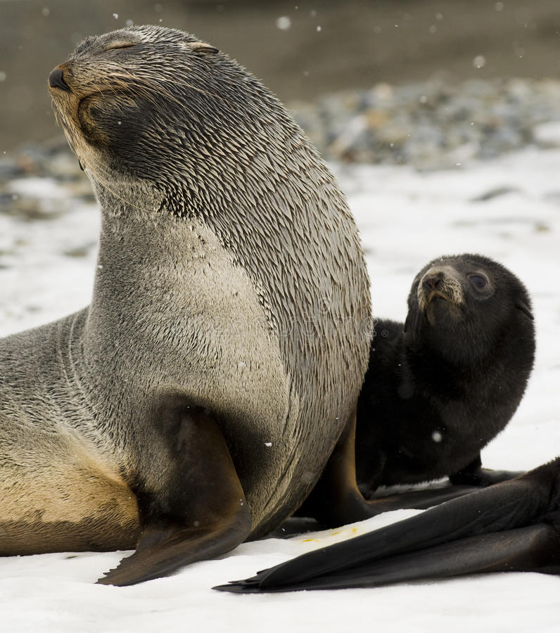 Download Antarctic Fur Seal and Pup stock image. Image of snow - 13007955