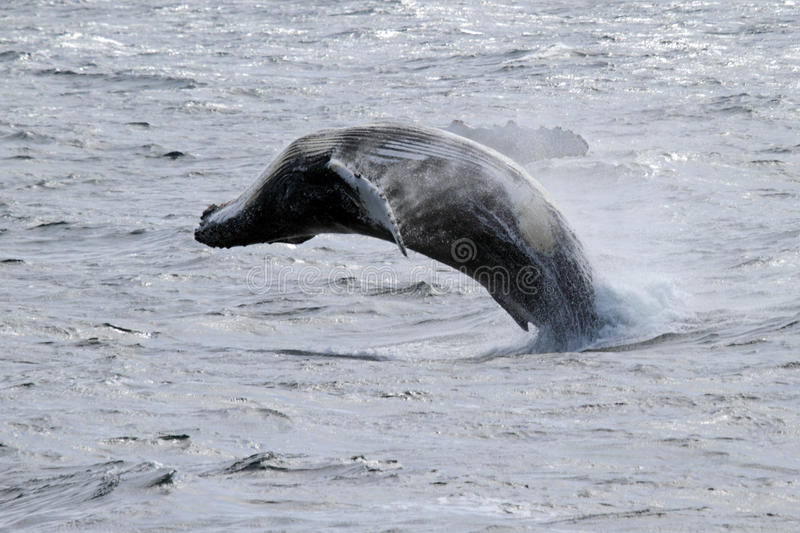 Antarctic humpback whale jumping royalty free stock photography