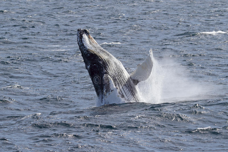Antarctic humpback whale jumping. Rare sighting of humpback whale breaching in Antarctica royalty free stock photography