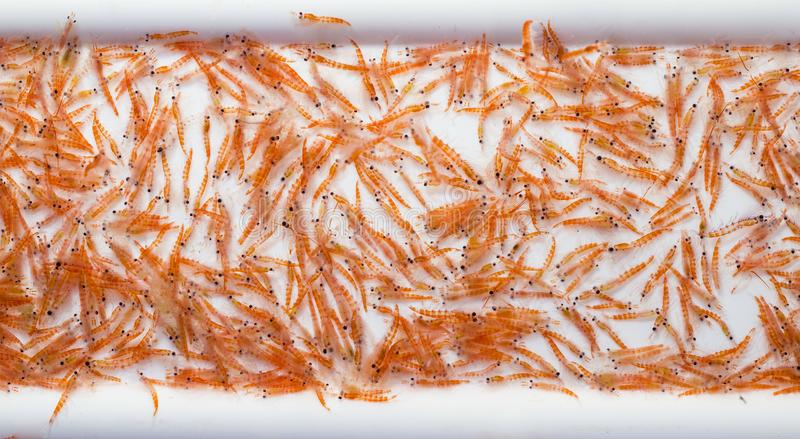 A mid-water trawl catch of Antarctic Krill,. Euphausia superba during a scientific expedition royalty free stock photo