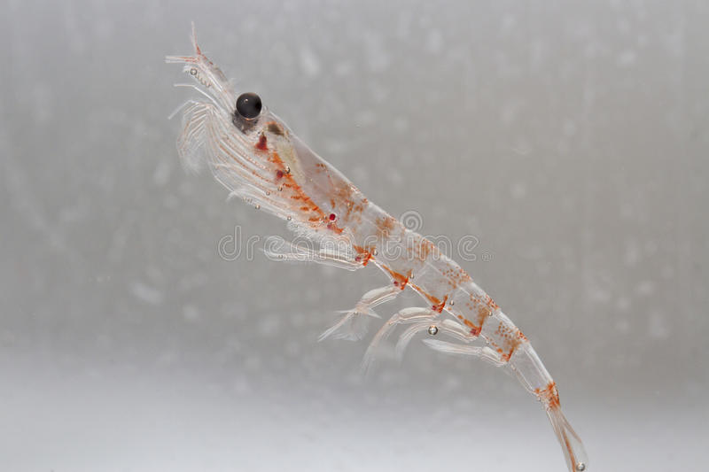 Antarctic krill in the water column of the Southern Ocean. Off the coast of the Antarctic Peninsula stock photography