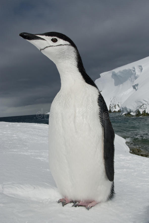 Antarctic Penguin On The Background Of The Ocean And Ice. Stock Photos