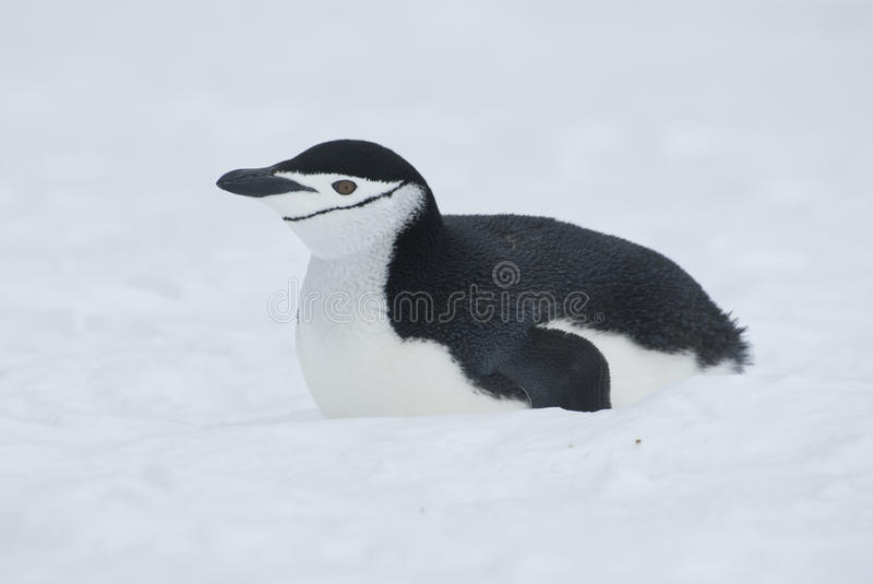 Antarctic penguin lying on the snow. stock photos