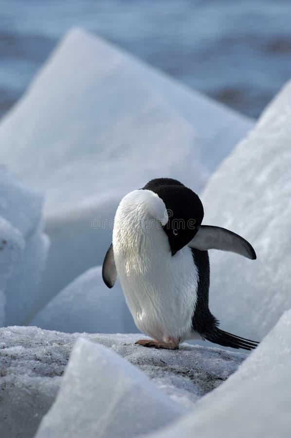 Download Antarctic Penguin(s) Royalty Free Stock Photo - Image: 23612145