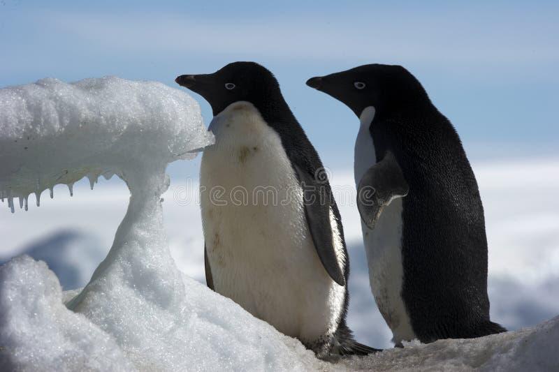 Download Antarctic Penguin(s) stock photo. Image of wildlife, frost - 23612196