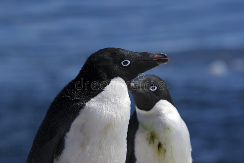 Download Antarctic Penguin(s) Royalty Free Stock Photo - Image: 23612225