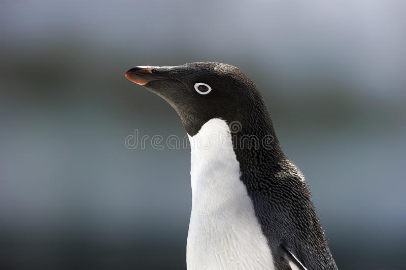 Download Antarctic Penguin(s) stock image. Image of cute, snow - 23612257